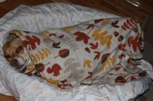Sienna, wrapped up in a blanket like a burrito?